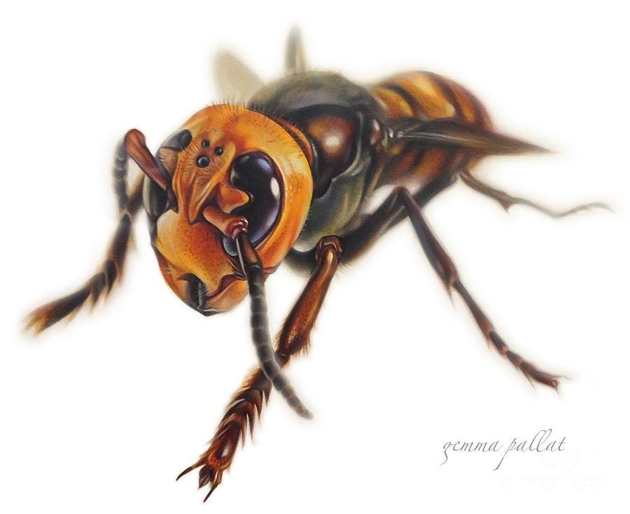 900x735 Asian Hornet Drawing By Gemma Pallat