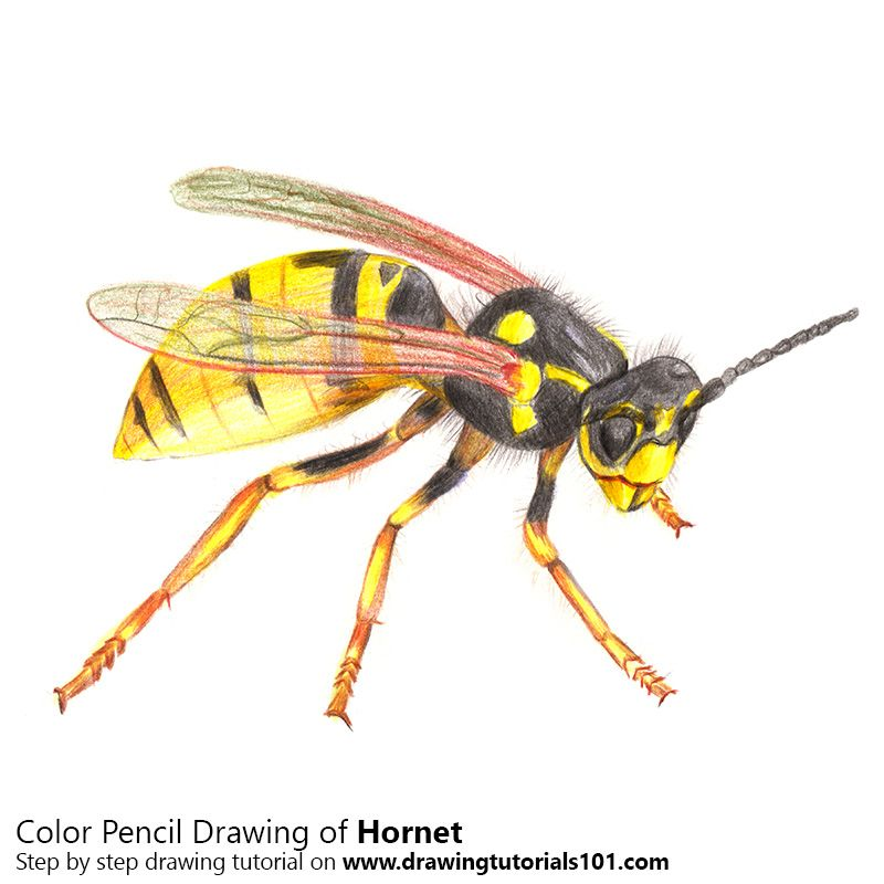 800x800 How To Draw A Hornet With Color Pencils [Time Lapse] Drawing