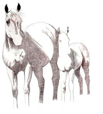 330x364 Aqha Mare And Foal Drawing Demonstration