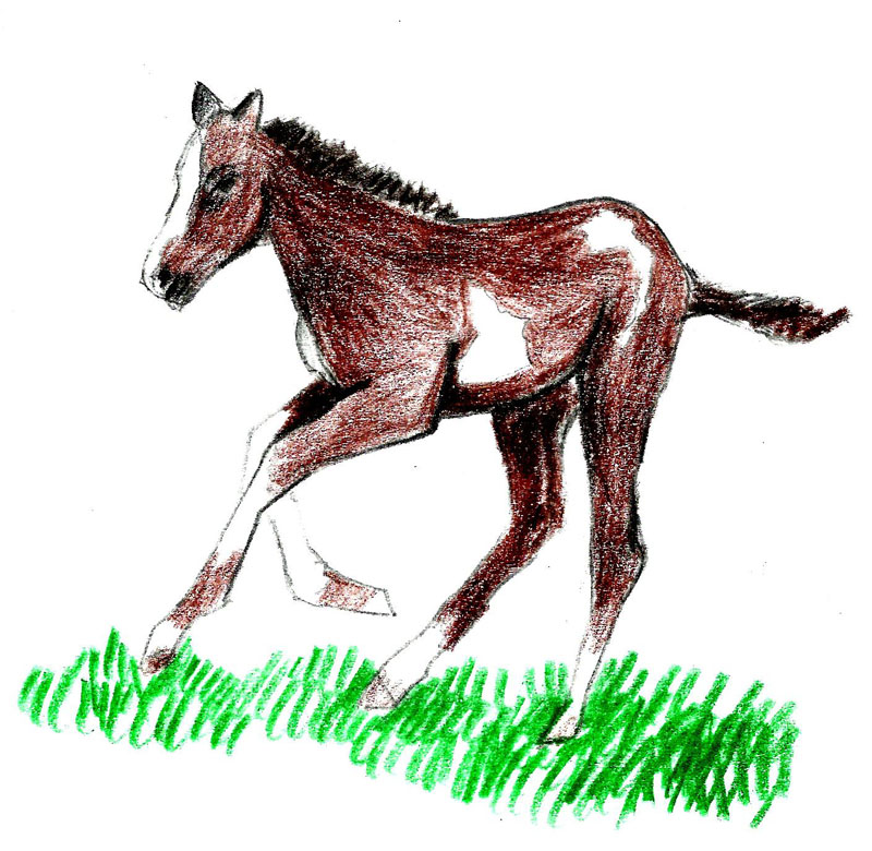 800x780 How To Draw A Foal 9 Steps (With Pictures)