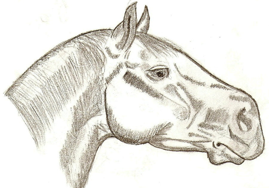900x632 Side View Detailed Horse Head By Wh Chicka 999