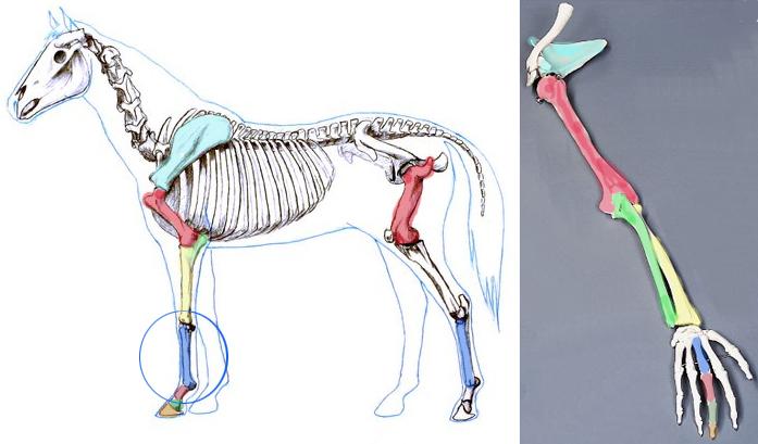 697x409 Hoof Structure Understanding The Horse