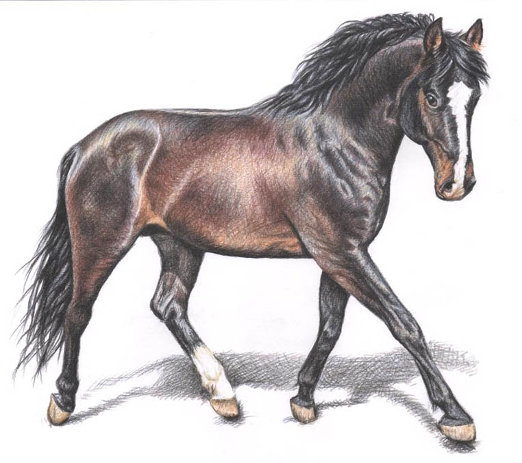 762x675 horse color pencil drawing nicole 5