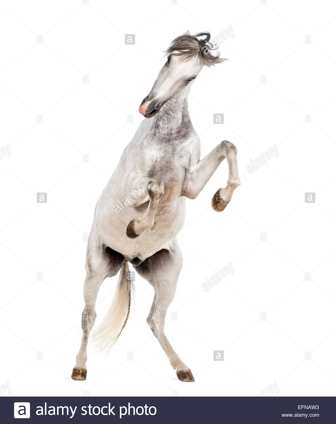 1099x1390 Andalusian Horse Rearing Up Against White Background Stock Photo