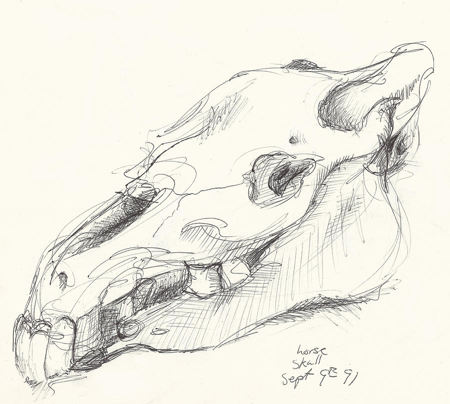 900x808 Horse Skull Study Drawing By Melinda Dare Benfield