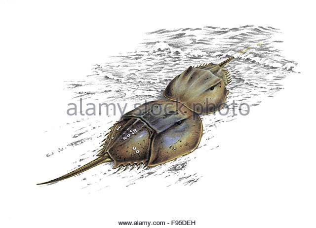 640x462 Horseshoe Crab Cut Out Stock Images Amp Pictures