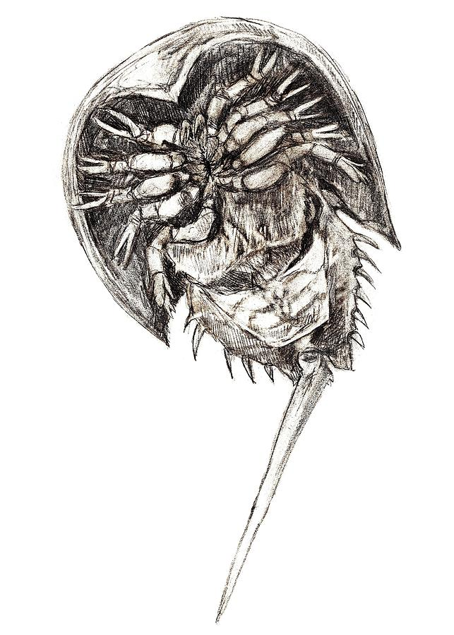 643x900 Horseshoe Crab Drawing By Abby Mcbride