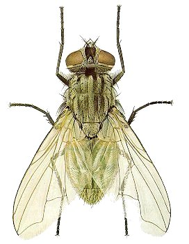 272x350 House Fly Entomology. Sophisticated Insects