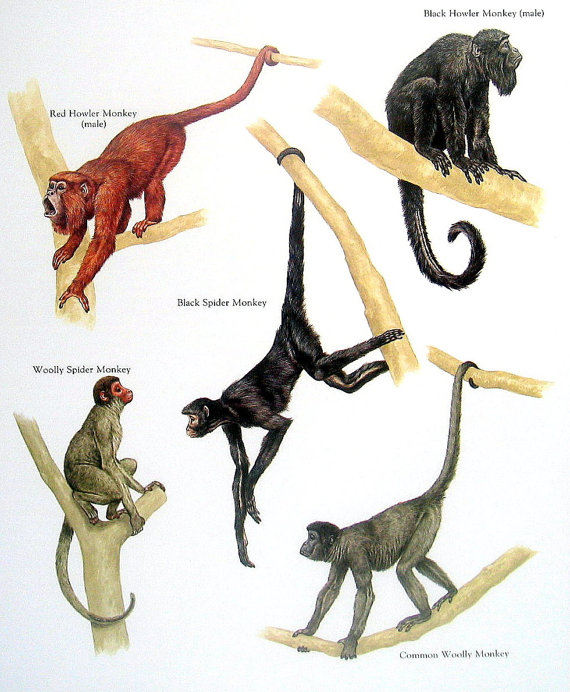 570x692 Monkeys Red Howler Monkey Black Spider Monkey Common Wooly