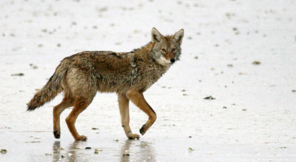 1024x562 Minnesota Coyote Hunting Tournament Is Latest To Draw Opposition