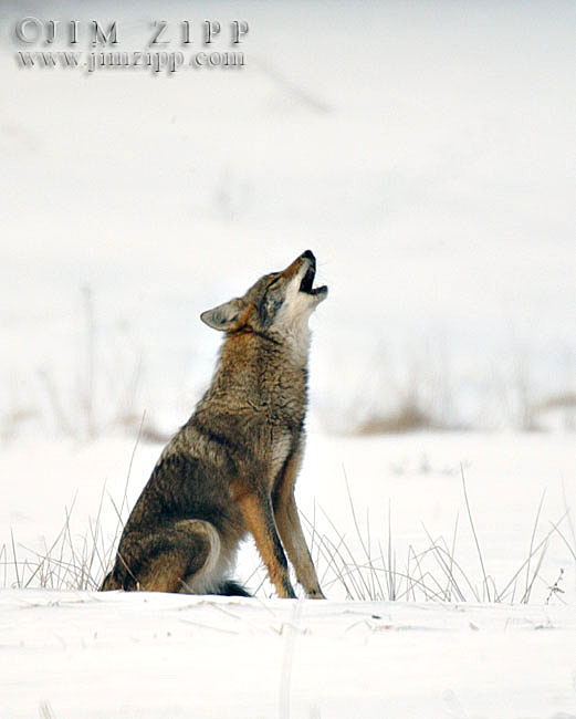 521x650 Naturally New England Tweed Wolf, The Eastern Coyote