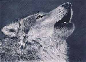 300x216 Howling Wolf Drawings Fine Art America