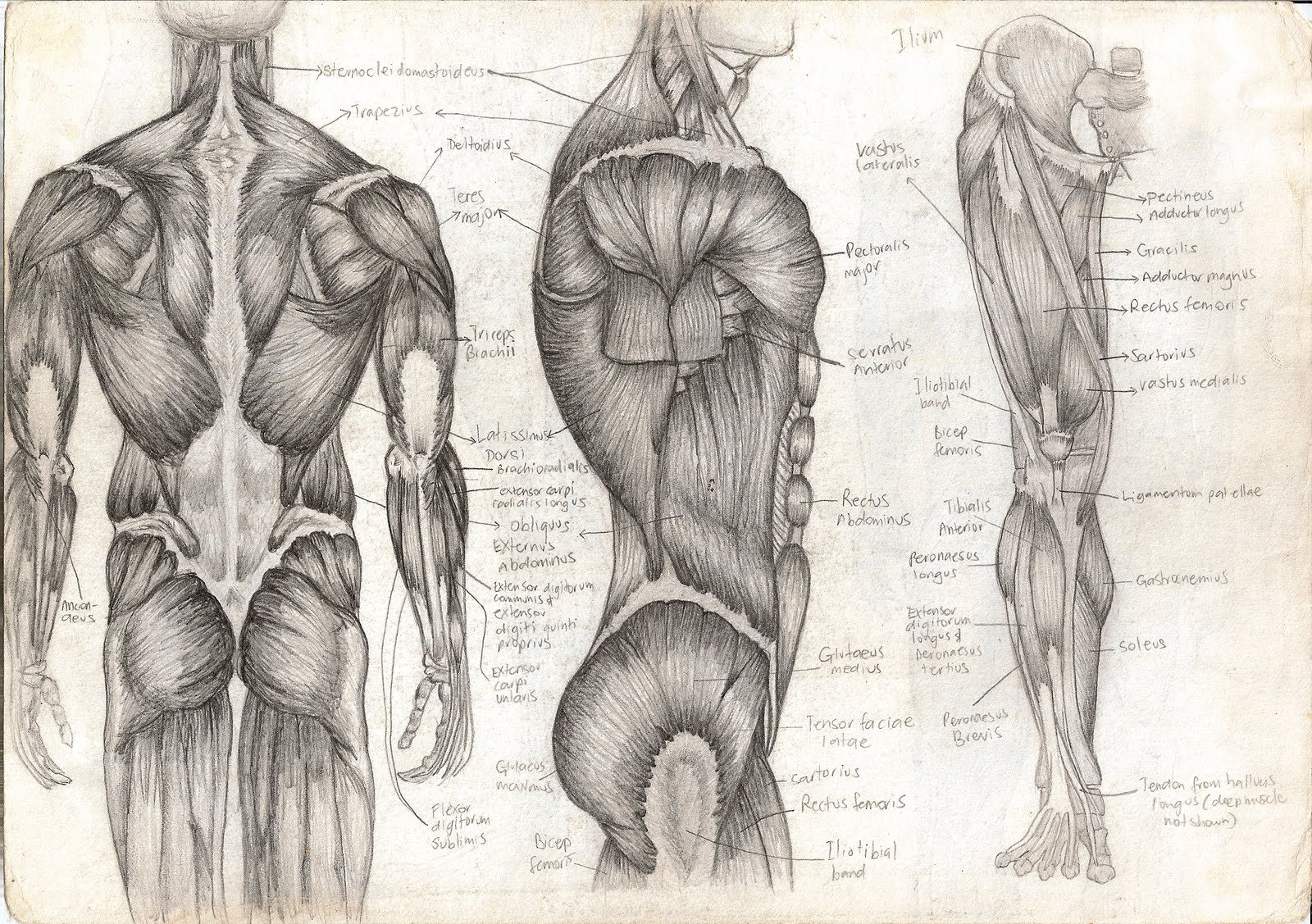 Human Anatomy Drawing At Free For Personal Use Full Body Muscle Diagram 1600x1127 Awesome 29 About Remodel Nervous System