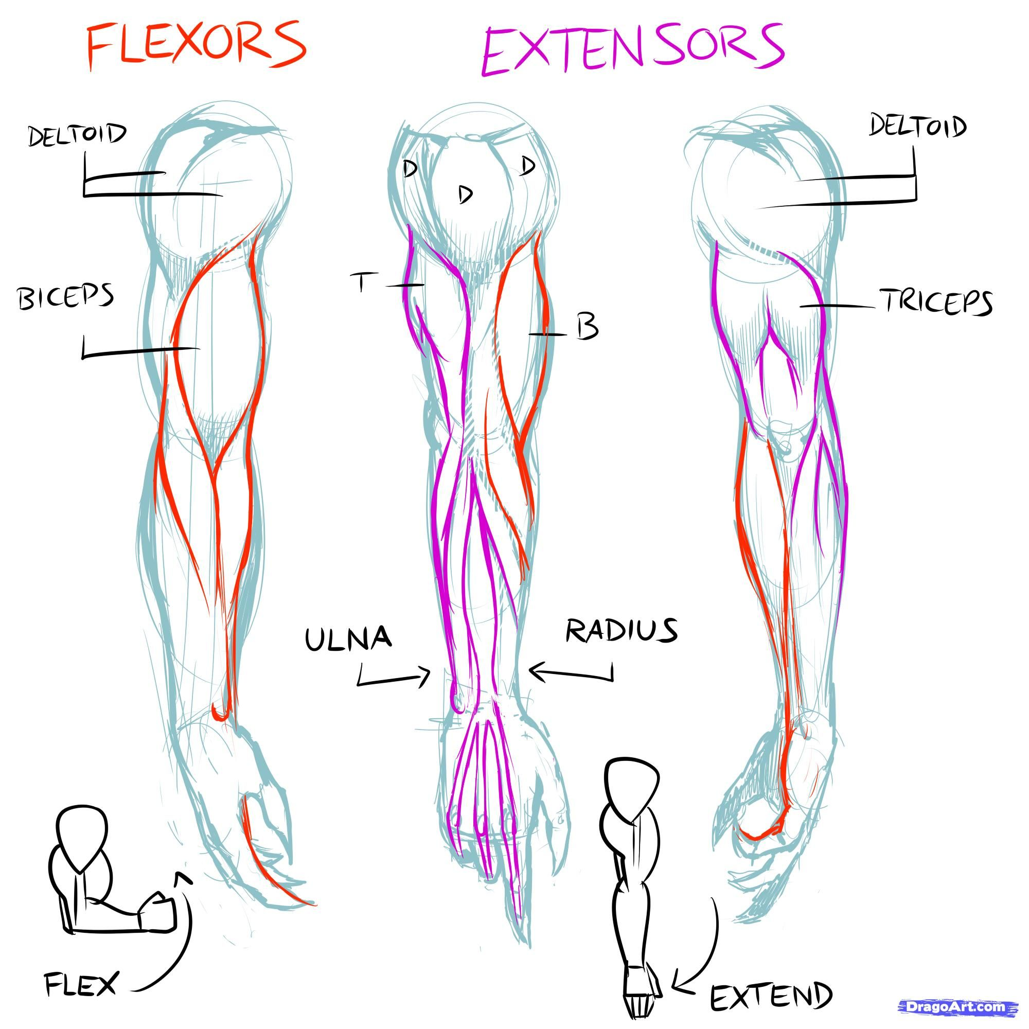 Drawing Anatomy Human Arm Muscle Diagram Block And Schematic