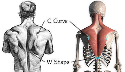 415x239 C Curve And W Shape Trapezius Drawing Anatomy