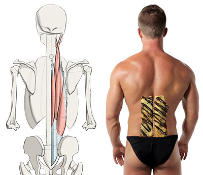400x344 How To Draw Lower Back Muscles