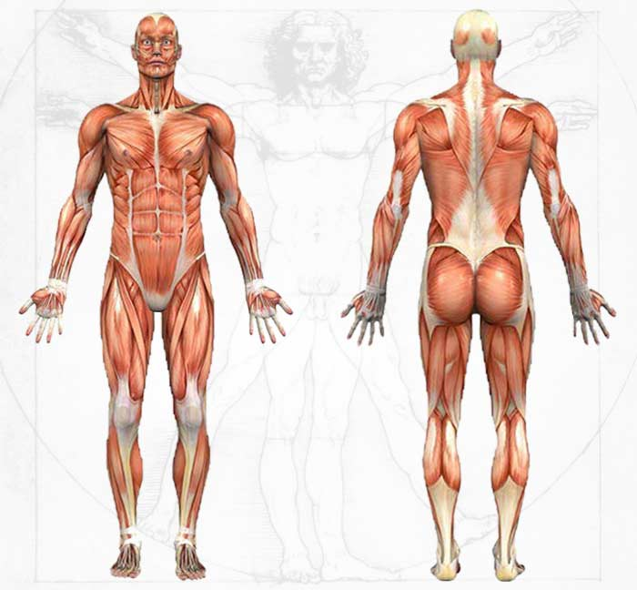Human Body Anatomy Drawing At Getdrawings Free For Personal
