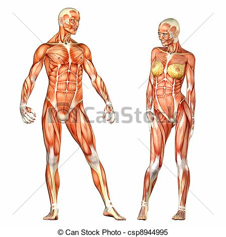 450x470 Anatomy Drawings Of The Human Body Male And Female Human Body