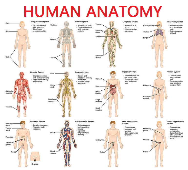 771x696 Full Picture Real Human Body Full Human Body Diagram Full Body