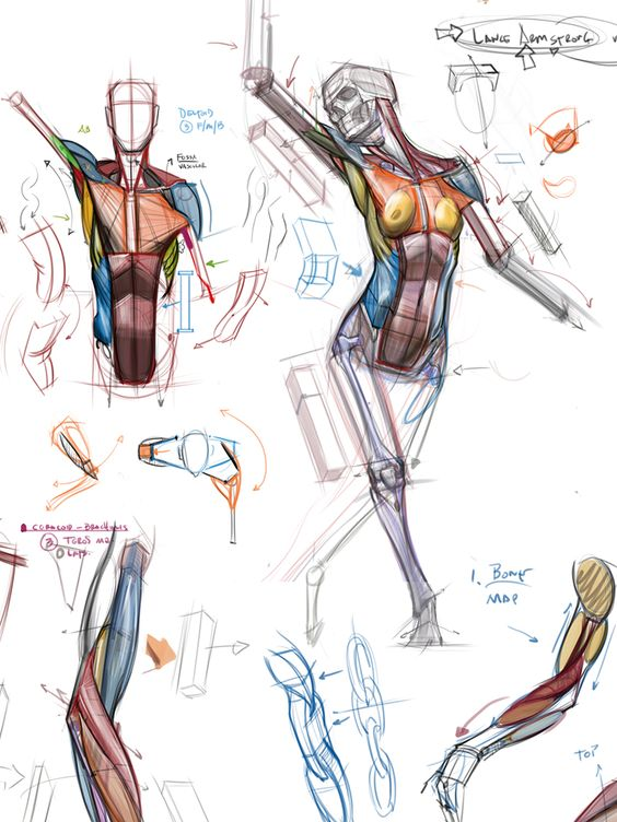 564x752 How To Drawsketch The Anatomy Human Body, Muscles And Other Body
