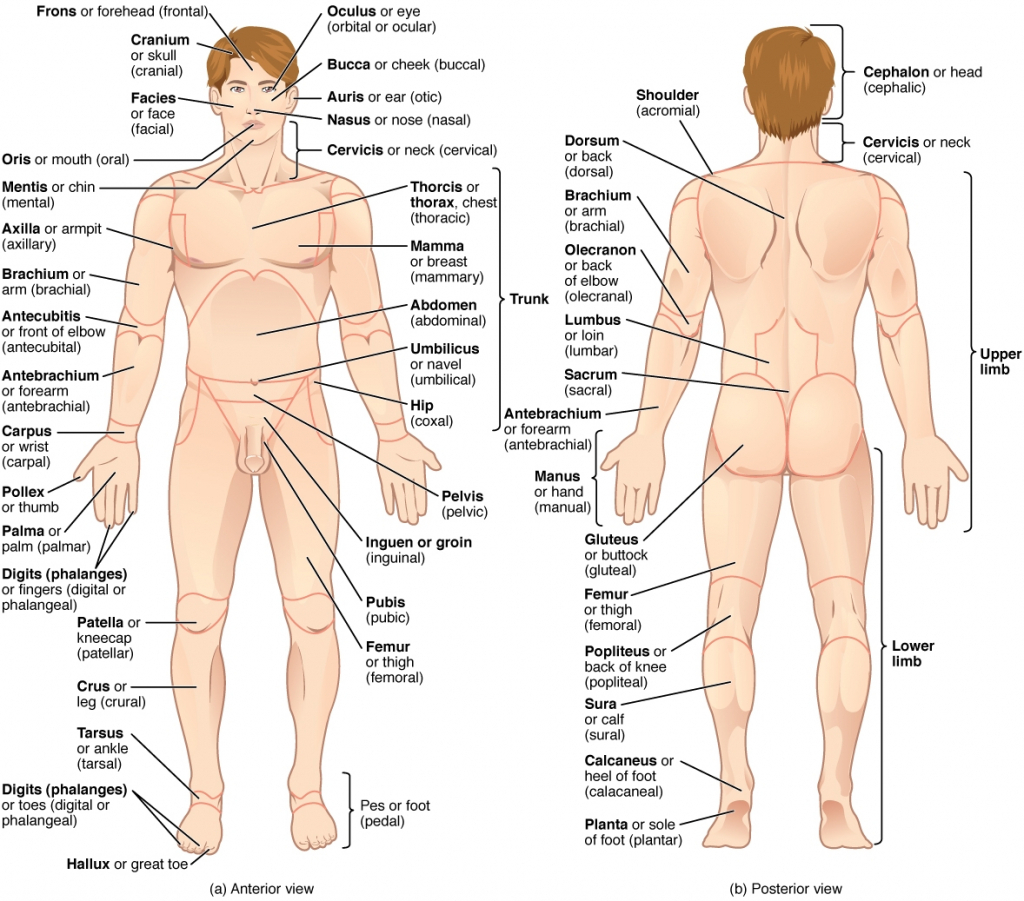 1024x901 Pictures Human External Anatomy,