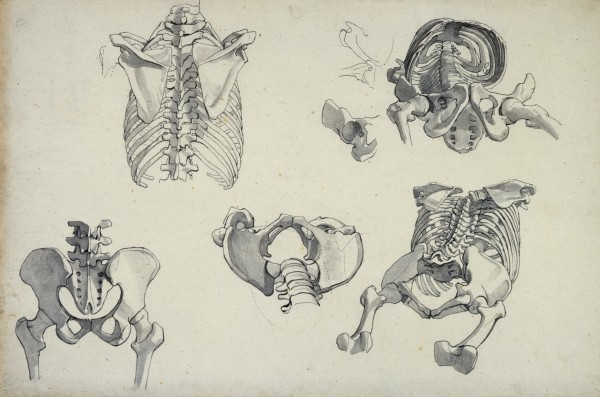600x397 Drawings Of Human Bones, Mainly Rib Cage And Pelvis