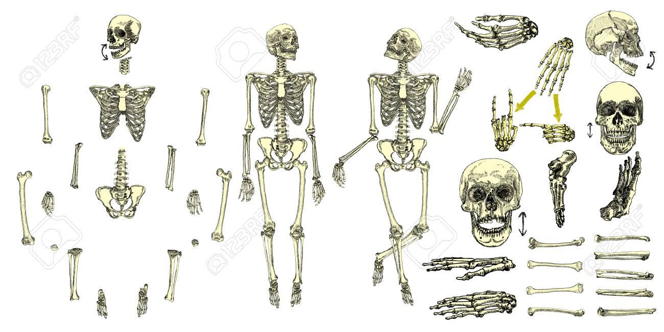 1300x650 Human Bones Skeleton Drawing Collection Set. Character Creation