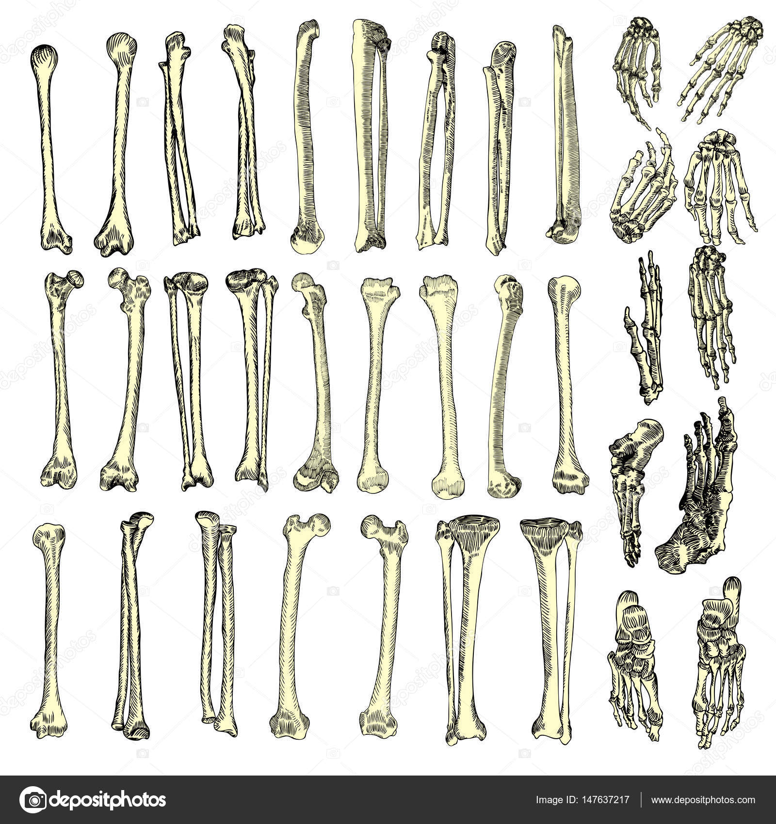 1600x1700 Human Bones Skeleton Drawing Set Stock Vector Goldenshrimp