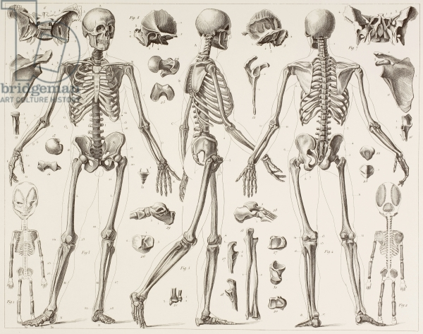 600x473 Skeleton Of A Fully Grown Human, After A 19th Century Print (Litho