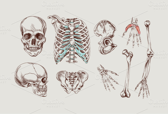 Human Bones Drawing at GetDrawings.com | Free for personal use Human ...