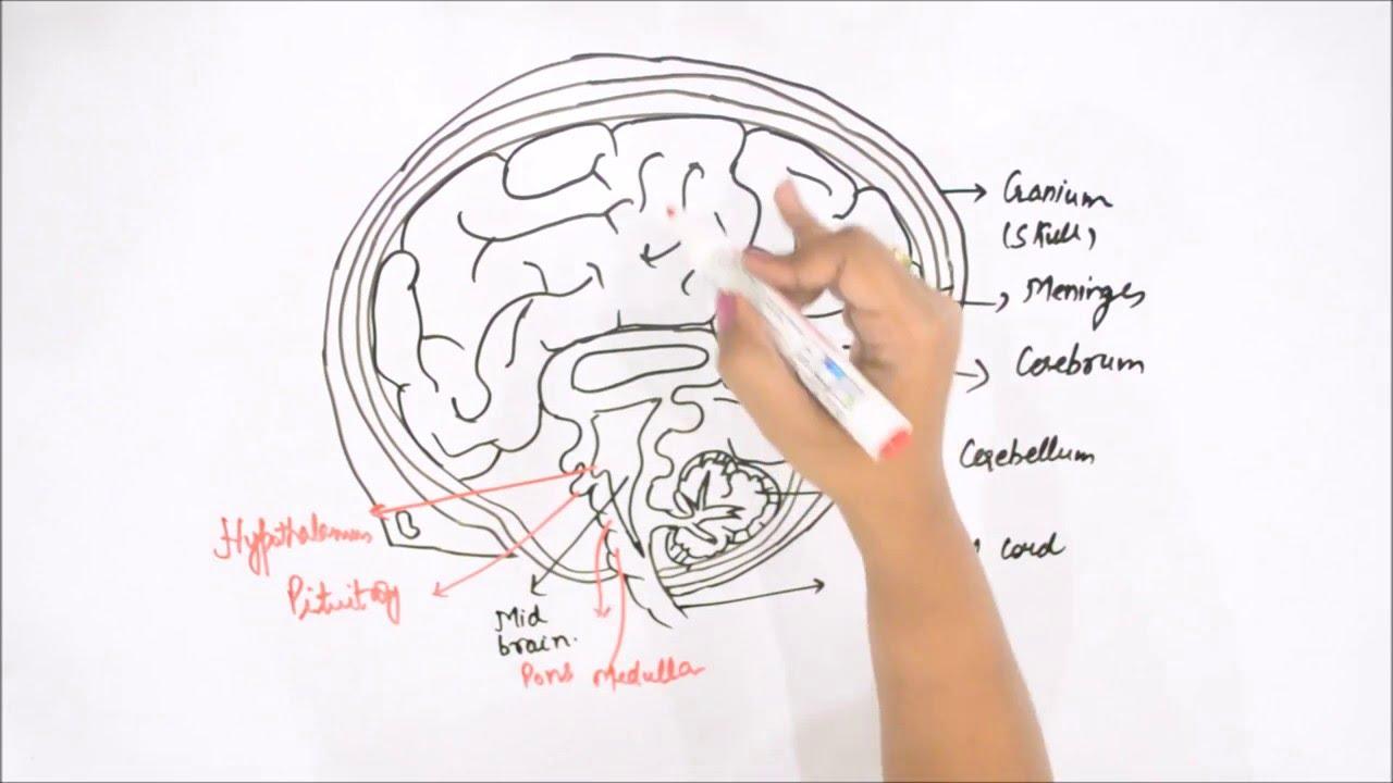 how to draw a cartoon brain step by step