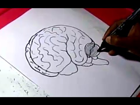 480x360 How To Human Brain Drawing For Kids Step By Step