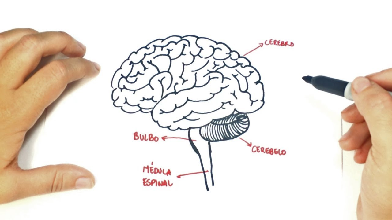 1280x720 How To Draw A The Human Brain The Human Brain Easy Draw Tutorial