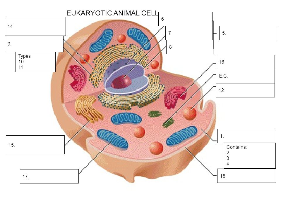parts of an animal cell
