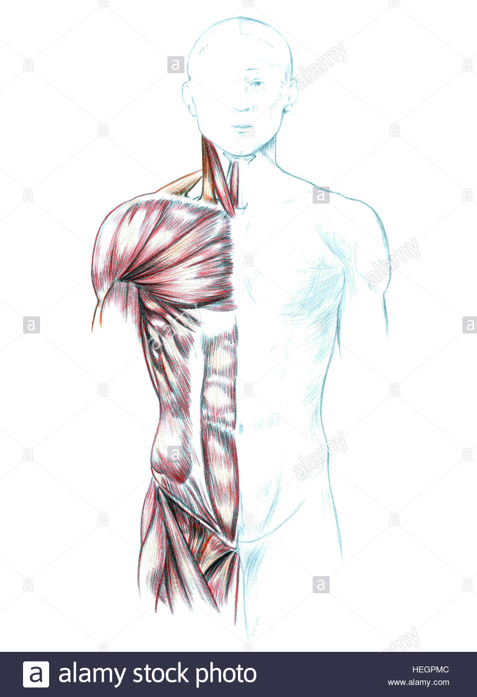 952x1390 Muscles Of Neck, Shoulders, Chest And Abdomen, Hand Drawn Medical