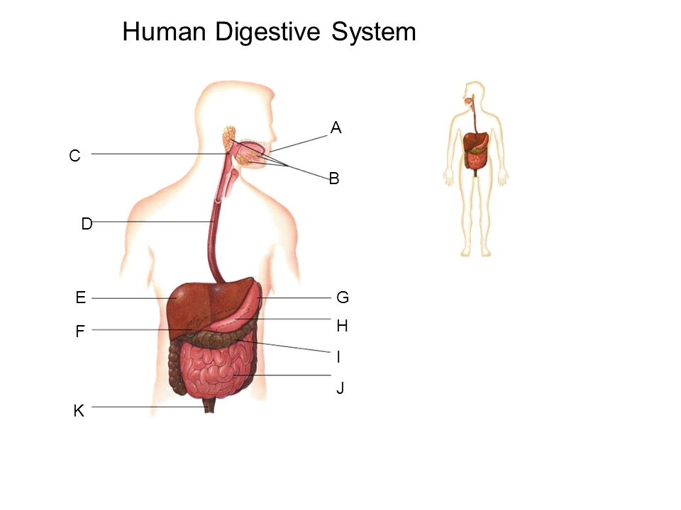 960x720 Aim How Does The Human Digestive System Maintain Homeostasis Do