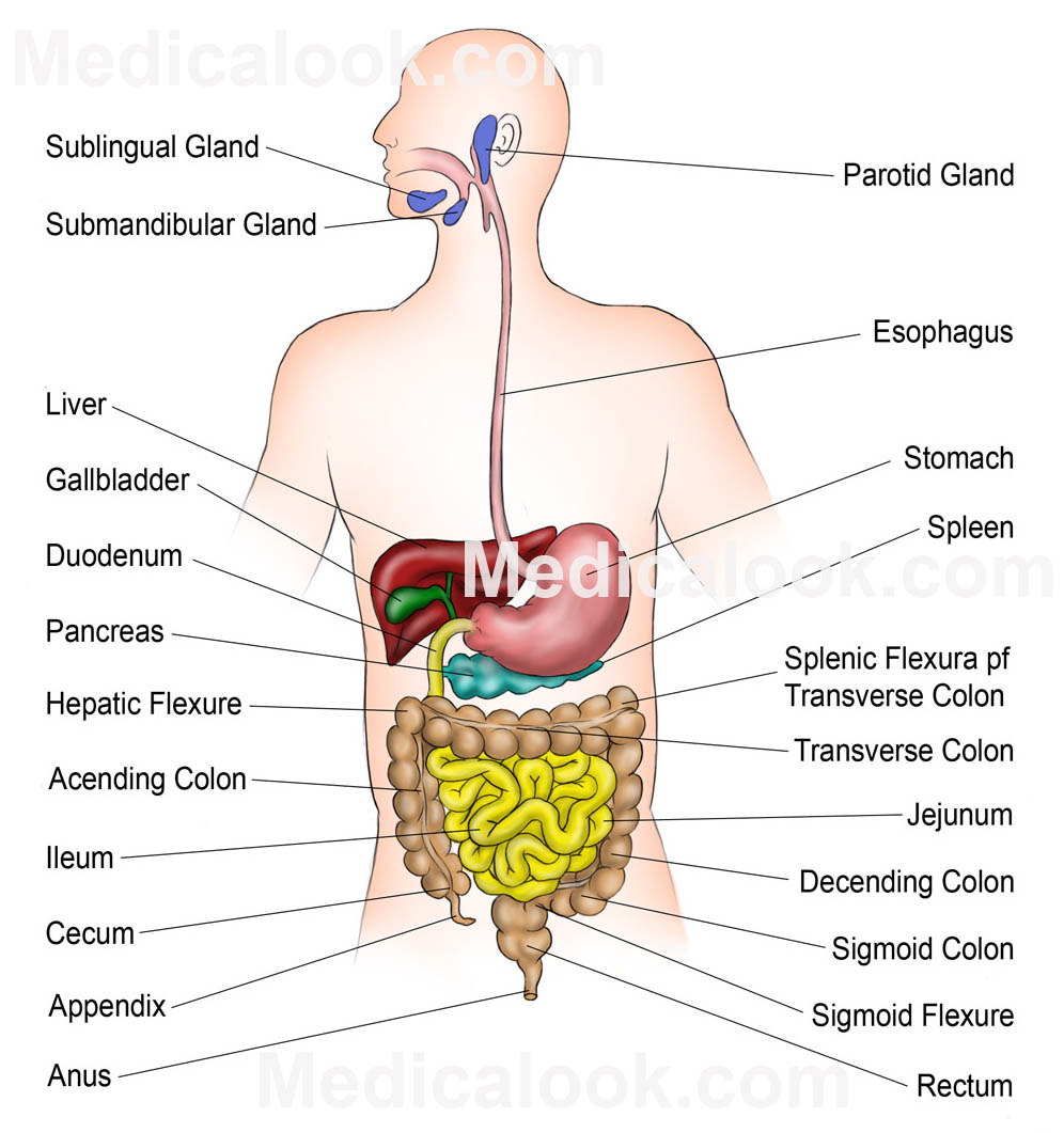 Human Digestive System Drawing At Getdrawings Free For