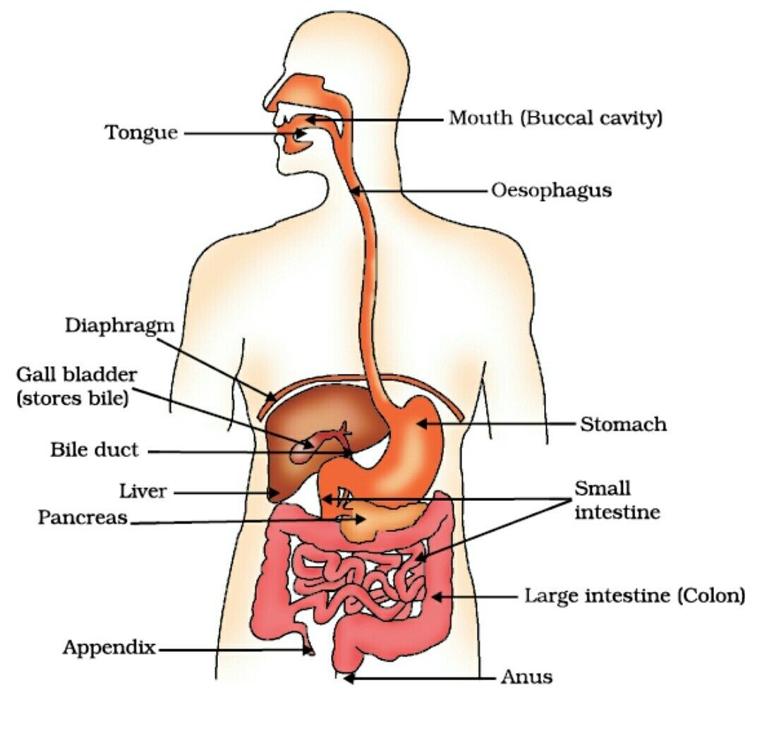 1080x1039 Easy Steps To Draw Human Digestive System [Class 10 Ncert] Write