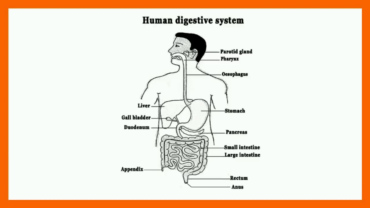 1280x720 Human Digestive System In Hindi All Structure Of Digestive