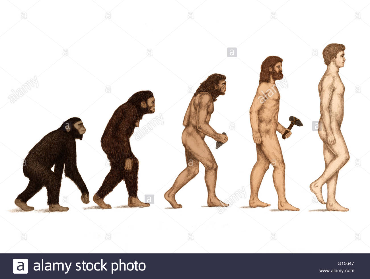 1300x981 Human Evolution. Artwork Of The Evolution Of Hominids (Male)