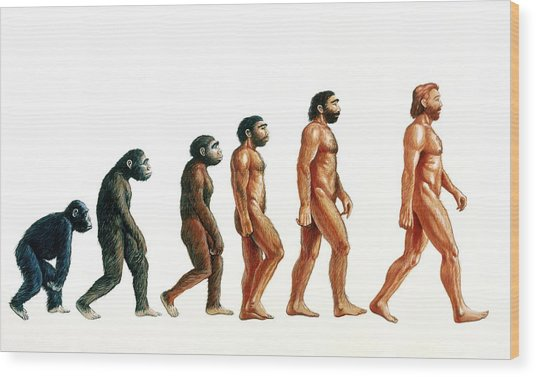 536x377 Stages In Human Evolution Photograph By David Gifford
