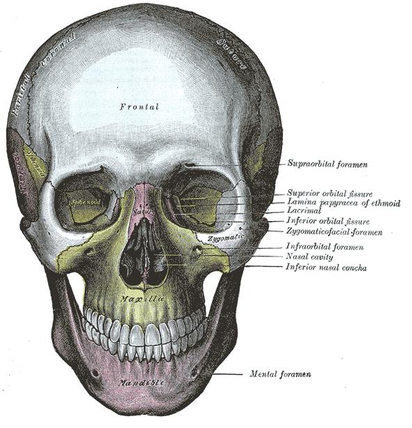 593x616 Skull Anatomy For Artists Drawn In Black