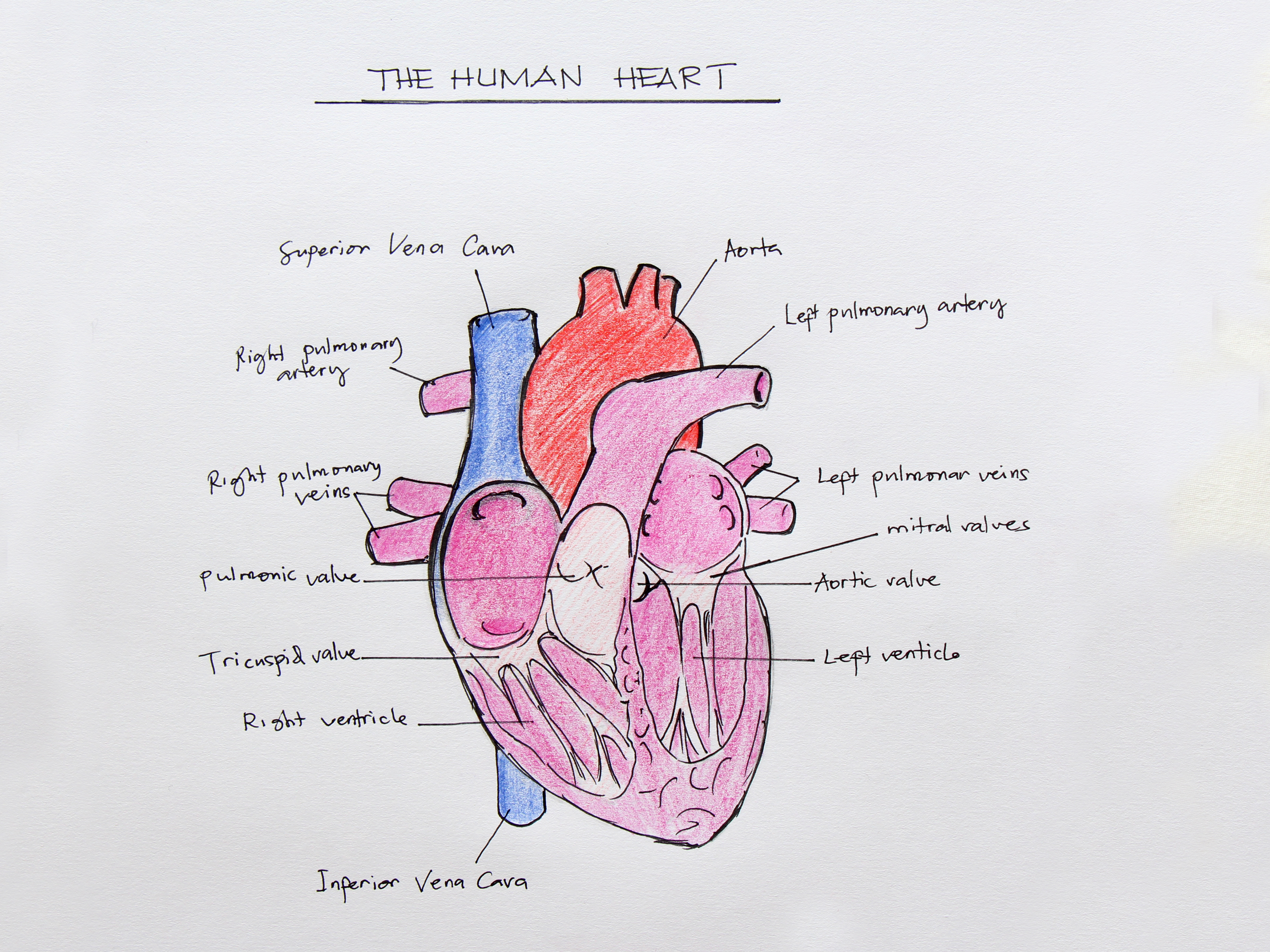 Human Heart Anatomy Drawing at GetDrawings.com | Free for personal ...