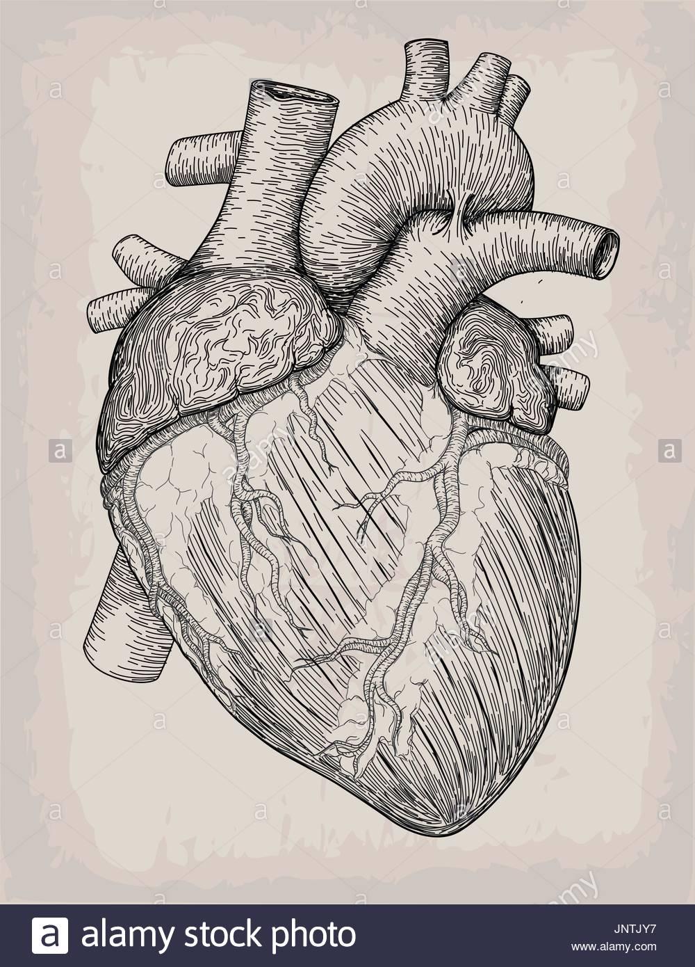 1000x1390 Human Heart Hand Drawn. Anatomical Sketch. Medicine, Vector Stock