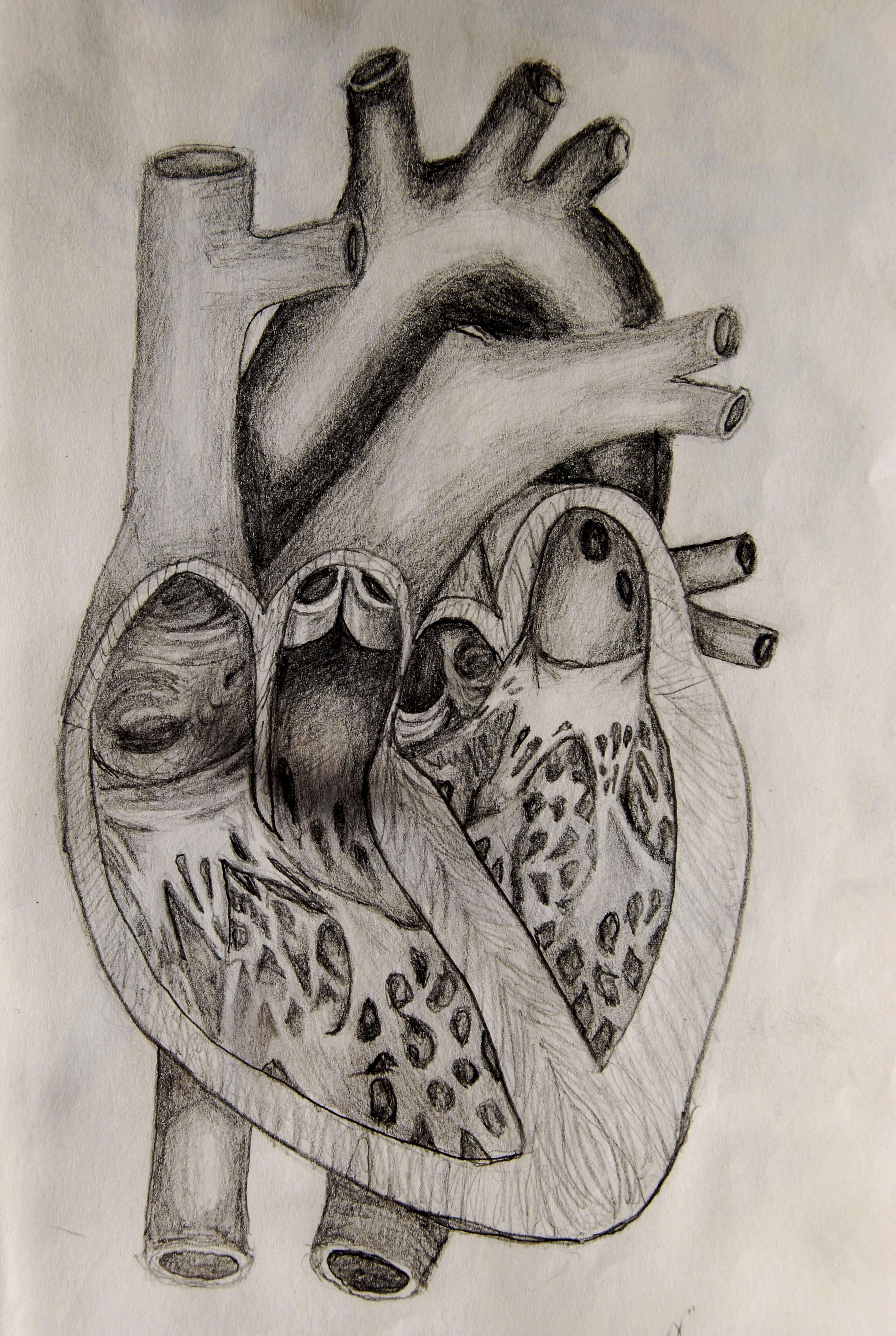 Human Heart Anatomy Drawing at GetDrawings.com | Free for ...