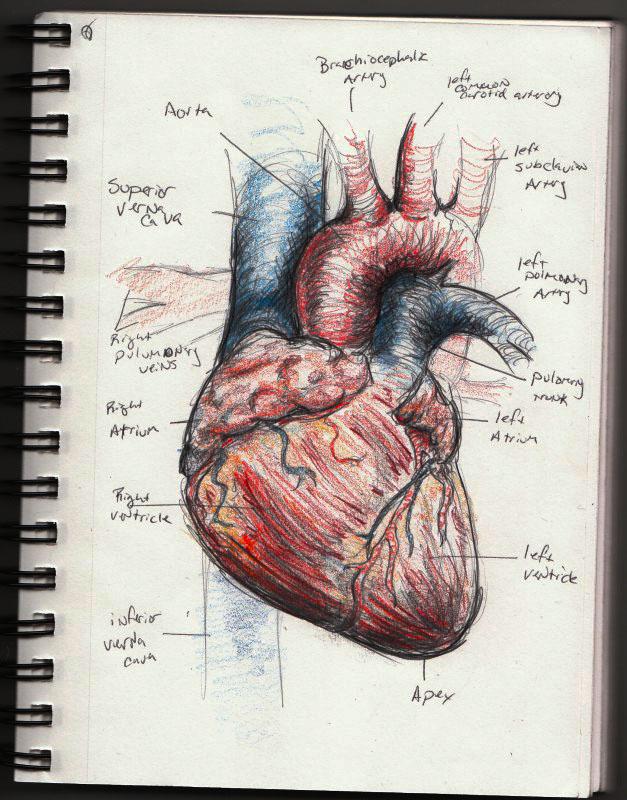 627x800 Human Heart Sketch By Vegetarules101
