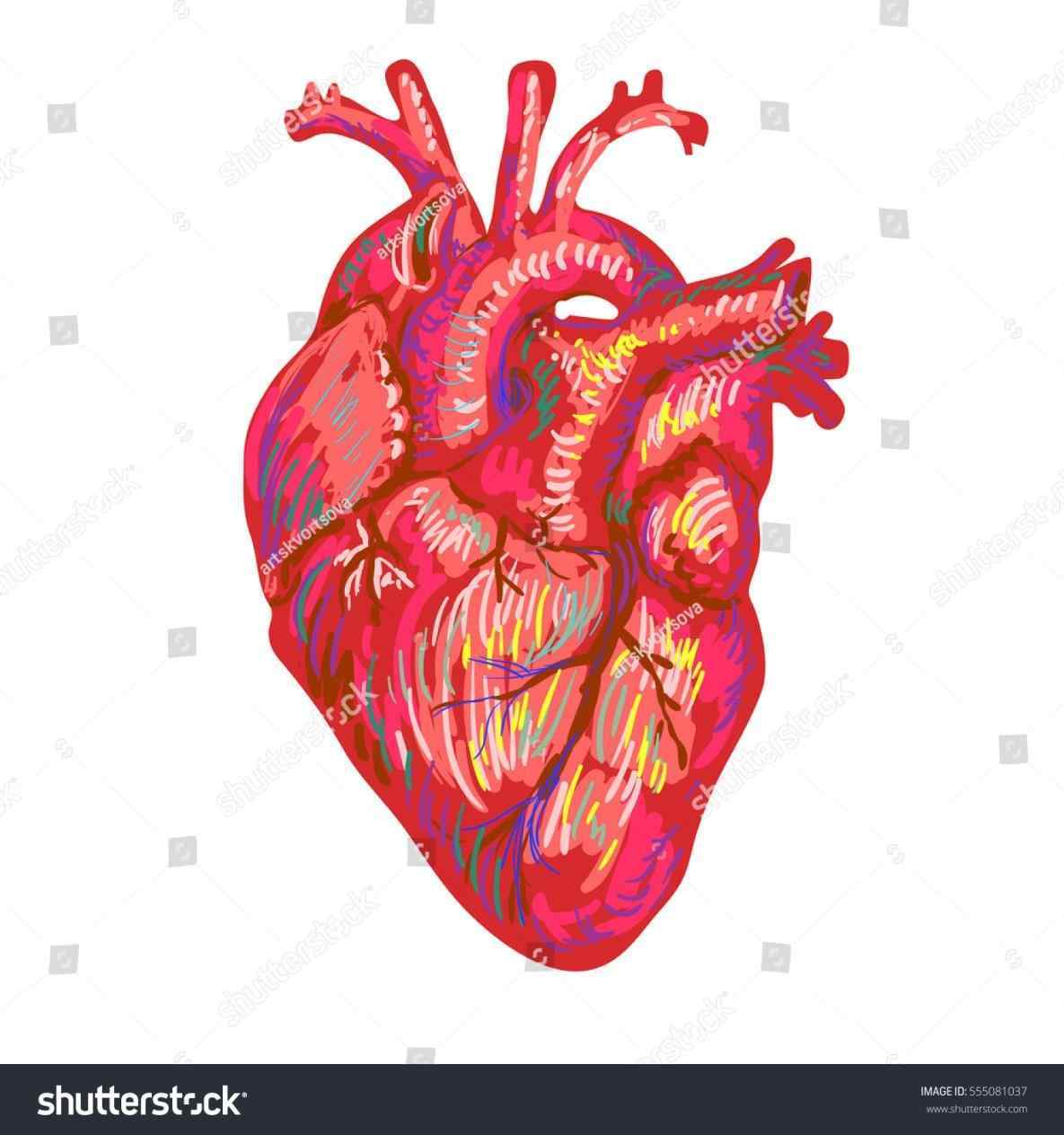 1185x1264 Heart Located In How To Draw A Steps With Pictures Wikihow How