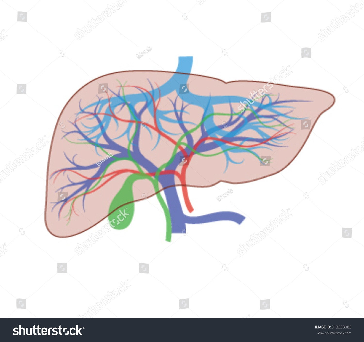 1500x1413 Diagram Of Human Body Showing Gallbladder Awesome Drawing Liver
