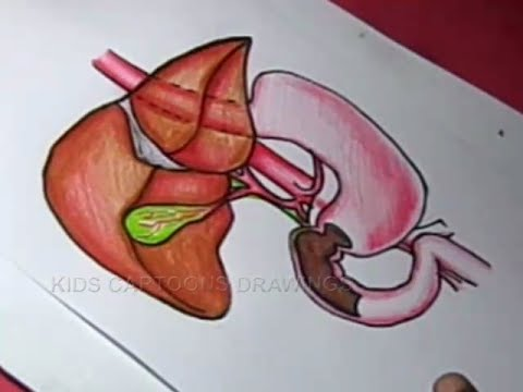480x360 How To Draw Human Liver And Gallbladder Drawing For Kids