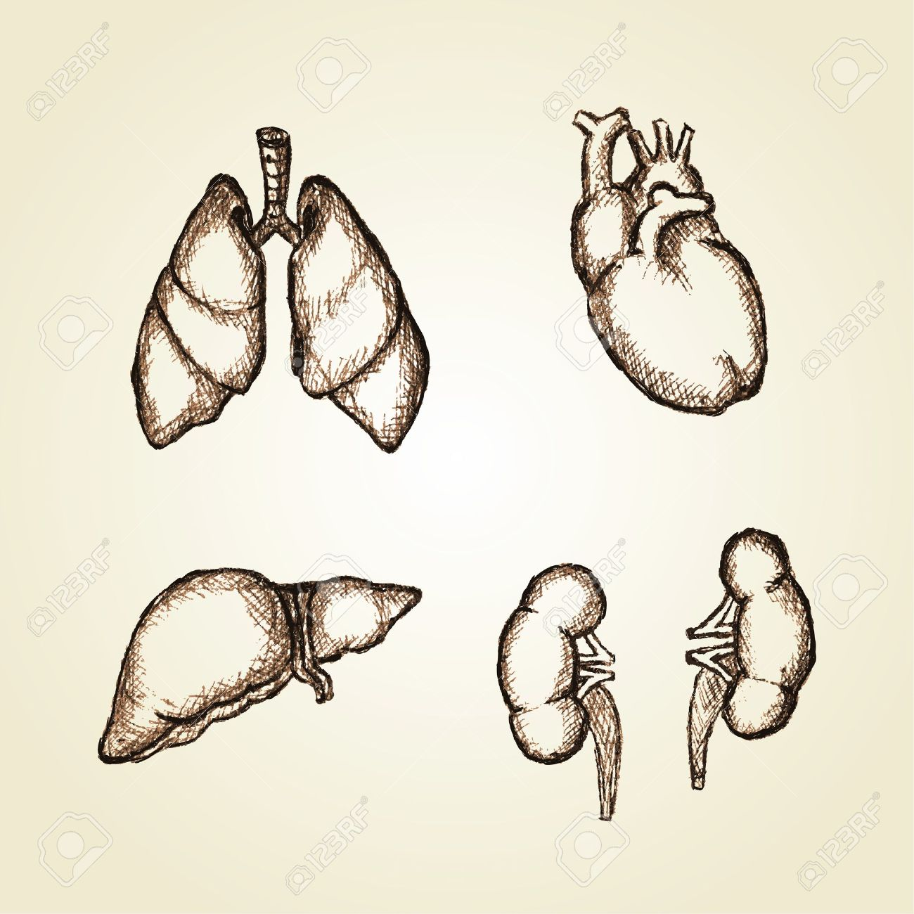 1300x1300 Sketching Illustration Of Organs Heart, Lungs, Liver And Kidney